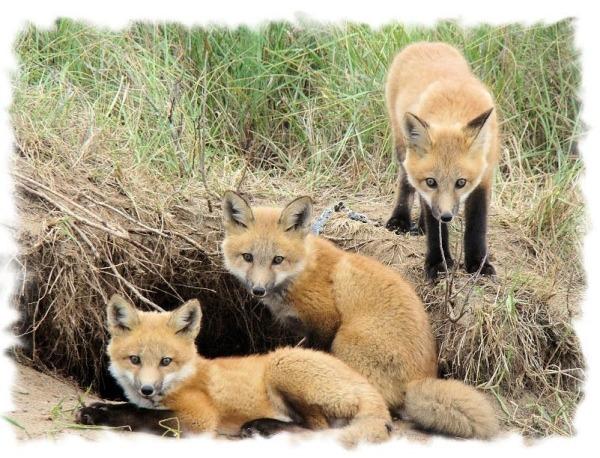 Foxysden